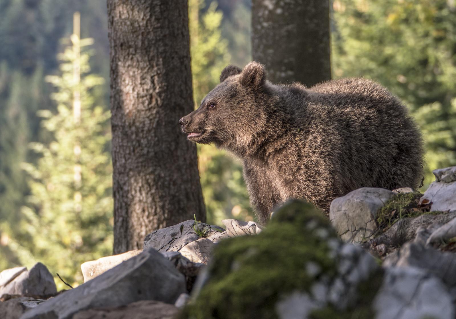 slovenia orsi